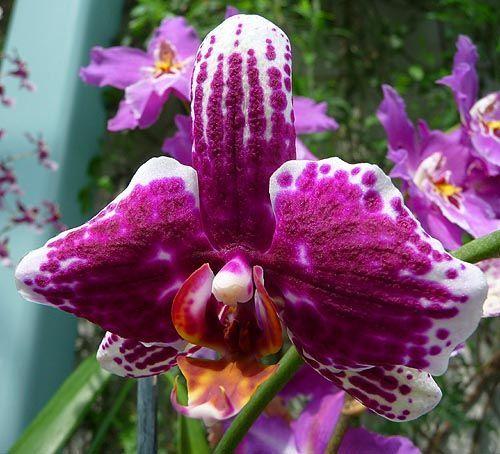 Phalaenopsis Purple White Orchid, Phalaenopsis