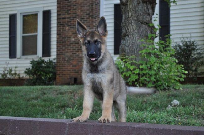 Ipo 1 german shepherd for sale