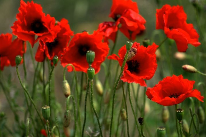 Free pictures of poppies flowers poppies pinterest poppy free pictures of poppies flowers mightylinksfo Images