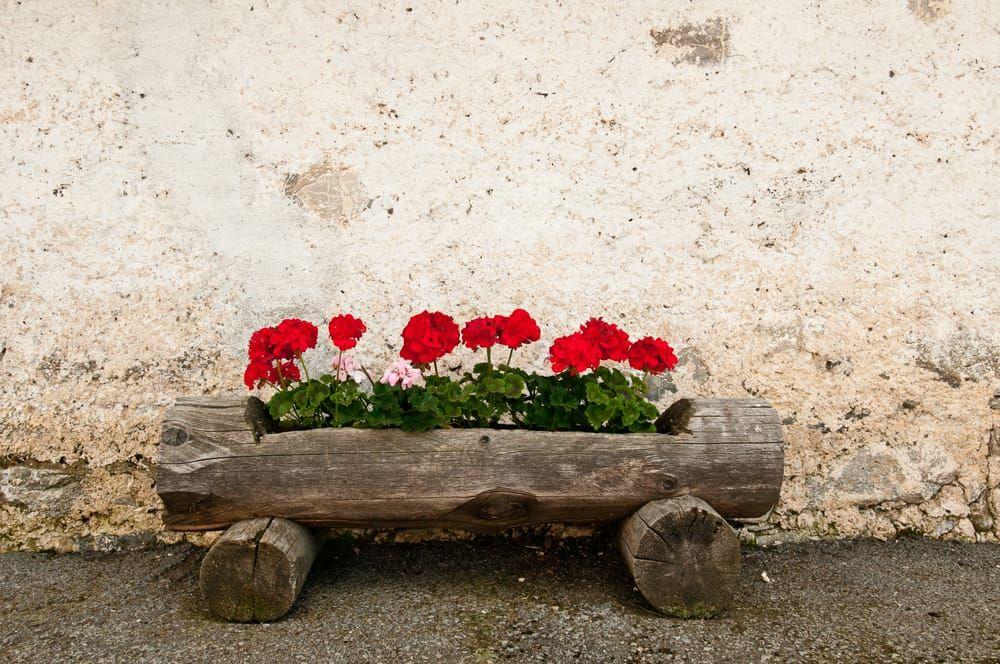 Come coltivare gerani in vaso belli e duraturi - Non ...