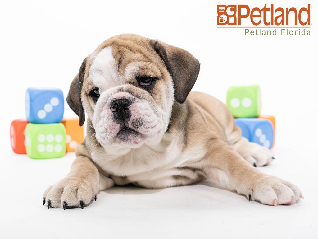 Petland Florida Has English Bulldog Puppies For Sale Check Out