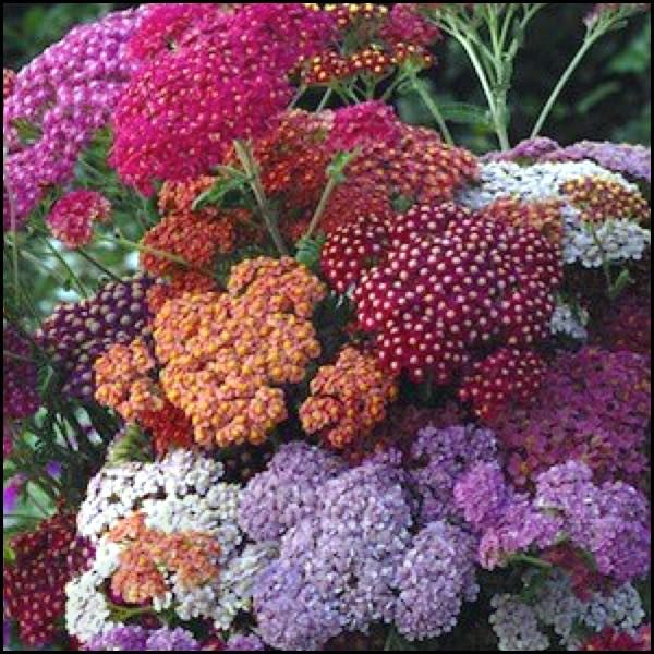Flowerburst red shades yarrow seeds impressive summer flower heads perennialthis pleasing mix features flowers in a blend of red rose and violet shades on bushy plantslor red rose and violet shades packaging mightylinksfo Choice Image