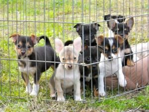 Adopt The Tijuana Litter On Chihuahua Dogs Terrier Mix Dogs