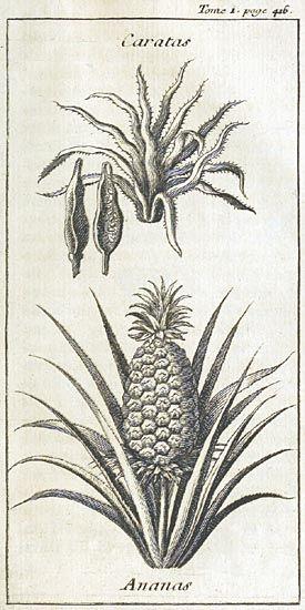 1742 Jean Baptiste Labat: Nouveau voyage aux îsles de l'Amérique, vol.1 page 416 (engraving)