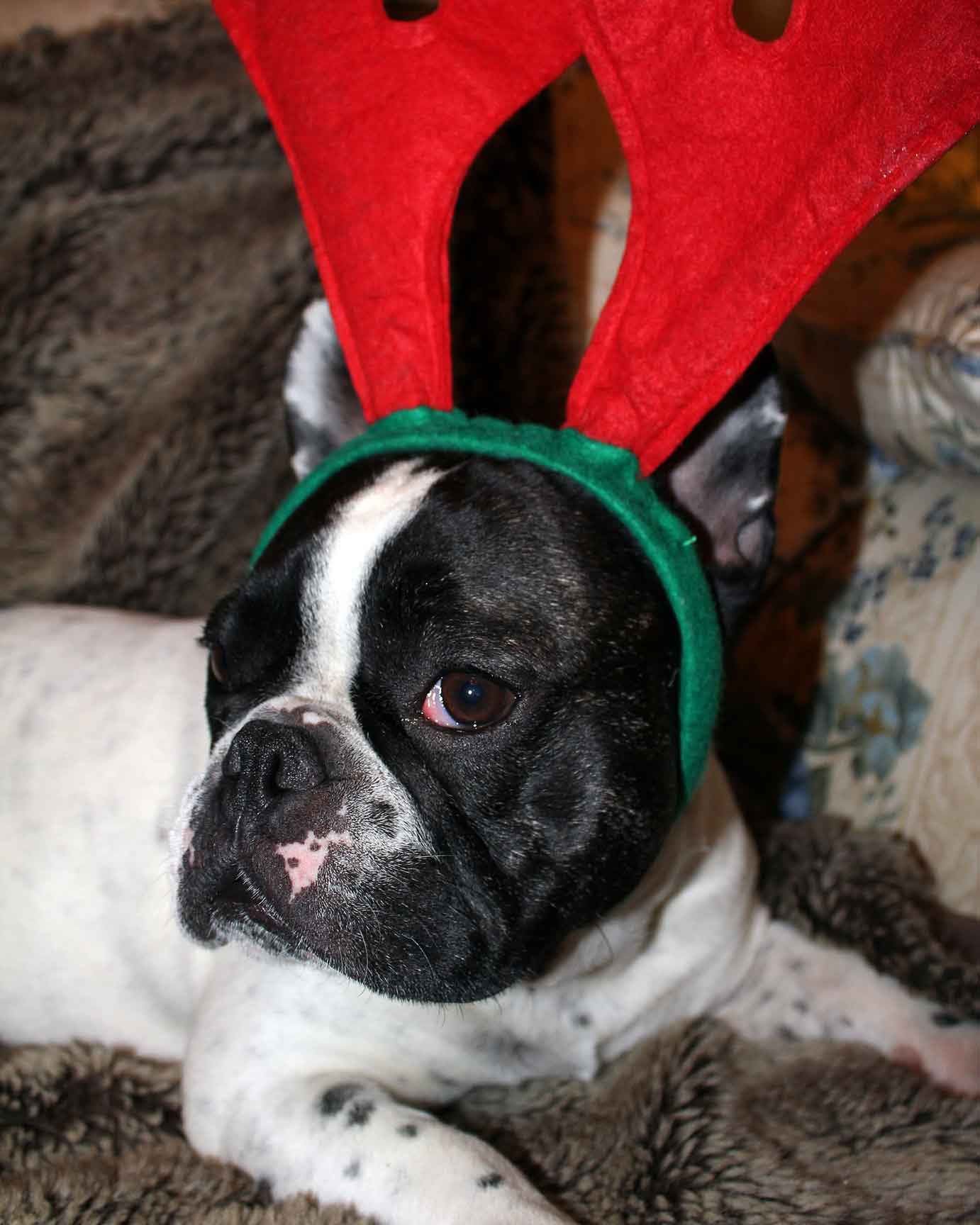 Französische Bulldogge Loulou. French Bulldog Loulou.