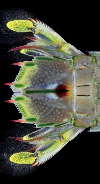 Mantis Shrimp Tail Fan