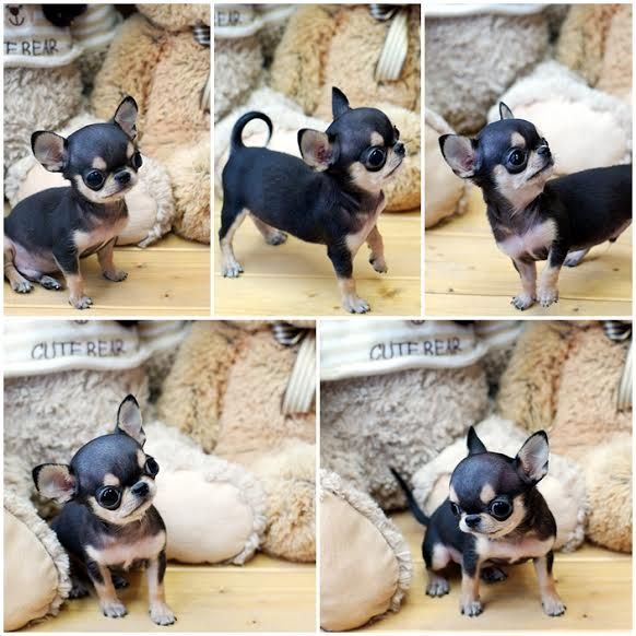 Amazing Pluto Micro Teacup Male Platinum Chihuahua