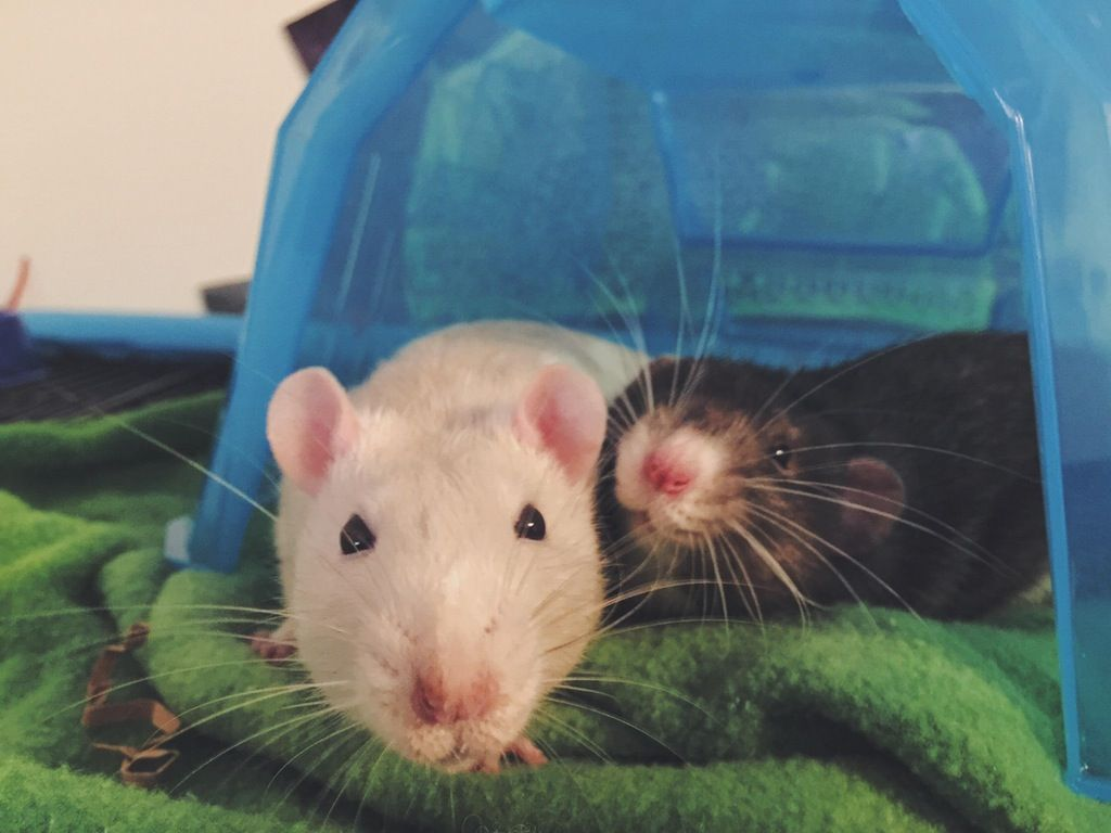 When your rats are cute and they know it. : RATS