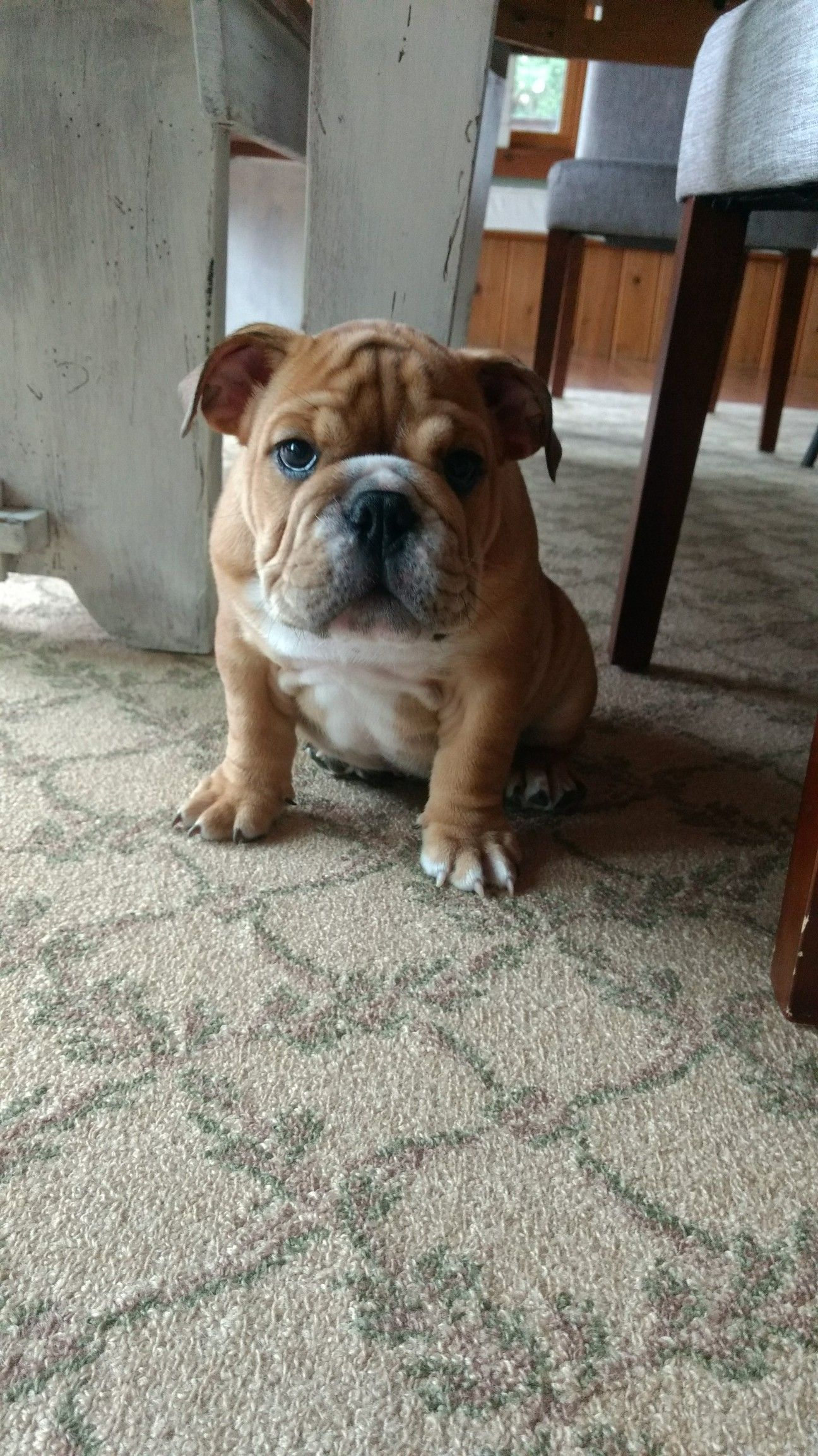 The 10 Most Adorable Puppies English Bulldog Puppies Bulldog