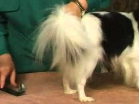 Dog grooming ways to groom a papillons coat youtube dog grooming ways to groom a papillons coat youtube solutioingenieria Choice Image