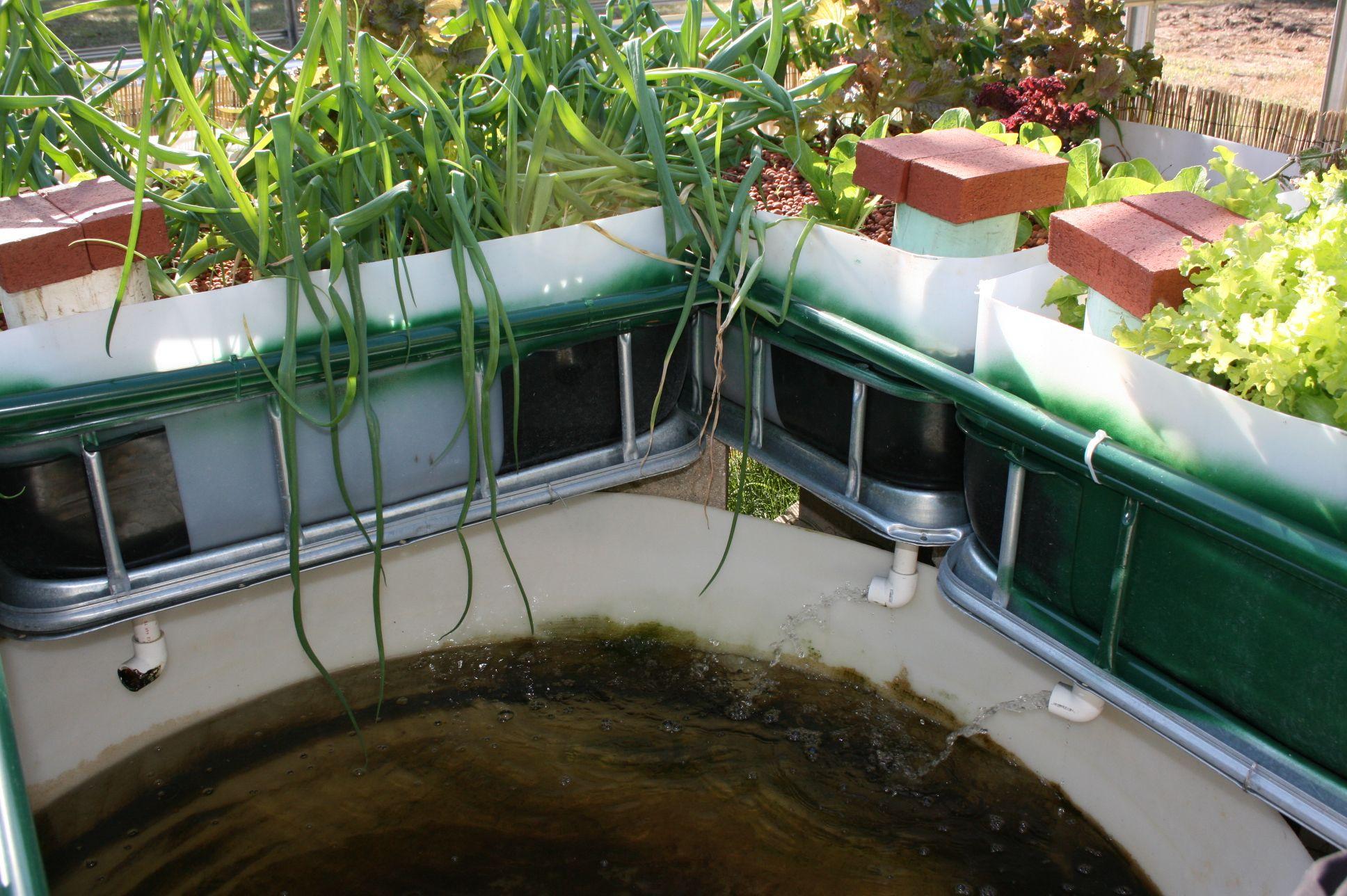 Backyard aquaponics garden center save planet earth for Fish aquaponics garden