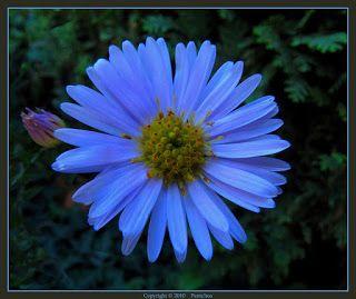 Blue Aster Flowers Aster Flower Aster Flower Tattoos Black Flowers Tattoo