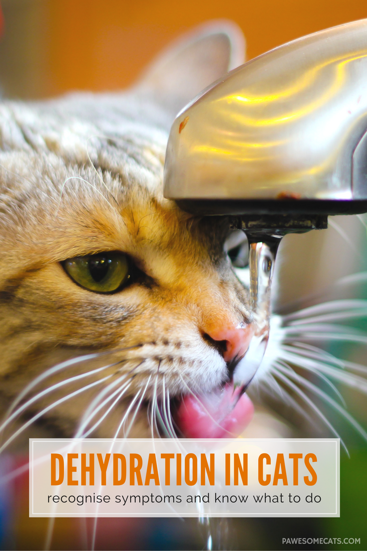 What To Do If Your Cat Is Dehydrated