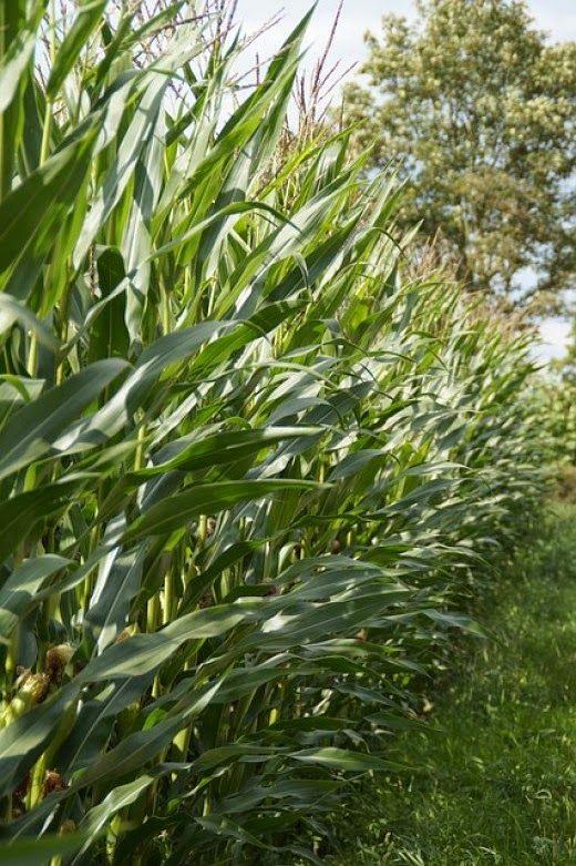 Agribusiness in Kenya: Maize Lethal Necrosis Disease in Kenya