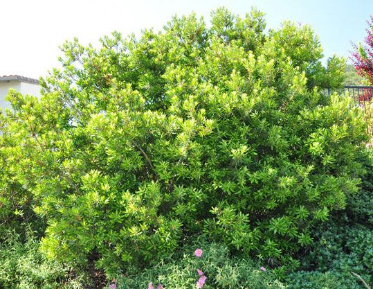 2 Pacific Wax Myrtle Myrica Californica Is An Evergreen Shrub Native To Southwest Washington Coast Mak Native Plant Gardening Shade Plants Evergreen Shrubs