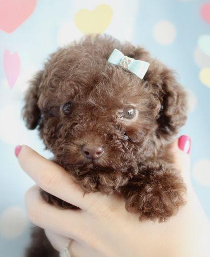 Meg Chocolate Brown Toy Poodle 10 Weeks Old Minature Poodle