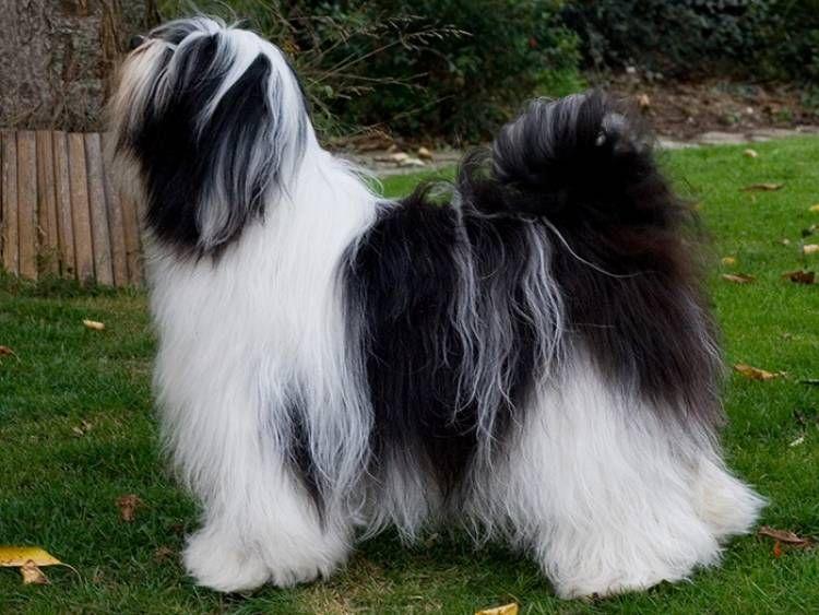 Tibetan Terrier Dog Breeder Tibetan Terrier Terrier Breeds