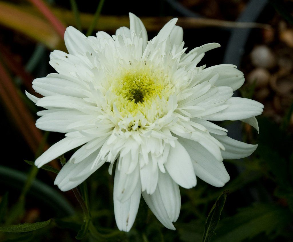 Leucanthemum x superbum 'Esther Reed' Variegated plants