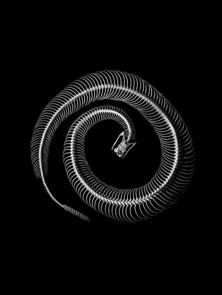 Serpientes de cascabel (Crotalus sp.) | ssssserpiente s | Pinterest ...