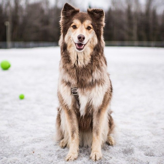 Echo, Collie/Alaskan Malamute mix | Tails as old as time ...  Echo, Collie/Al...