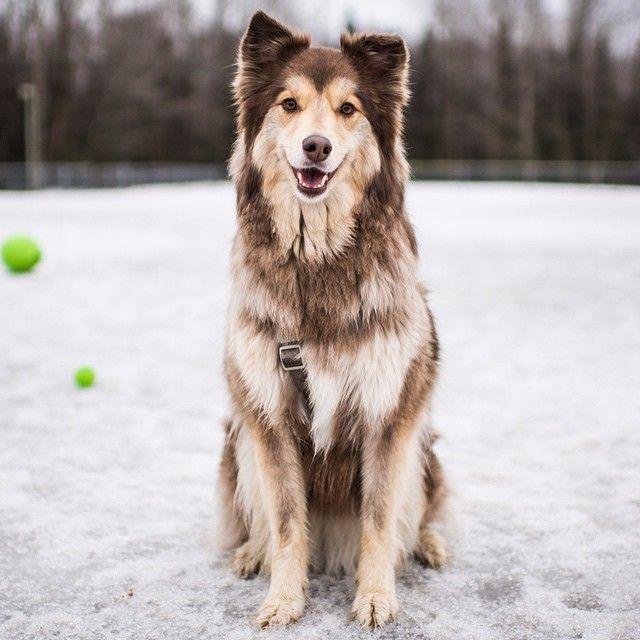 Echo, Collie/Alaskan Malamute mix | dogs | Pinterest ...