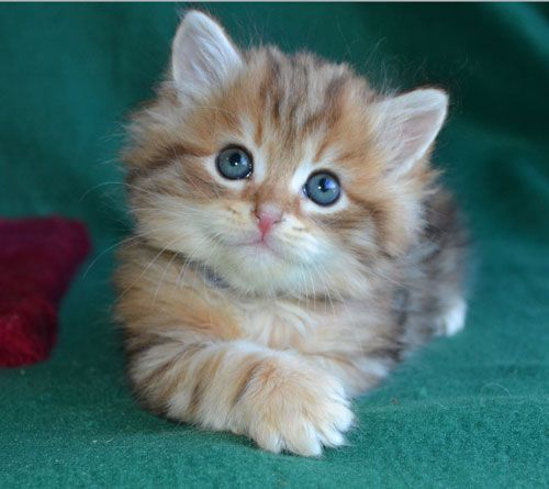 Siberian Cats And Kittens For Sale In Texas From Russia Are
