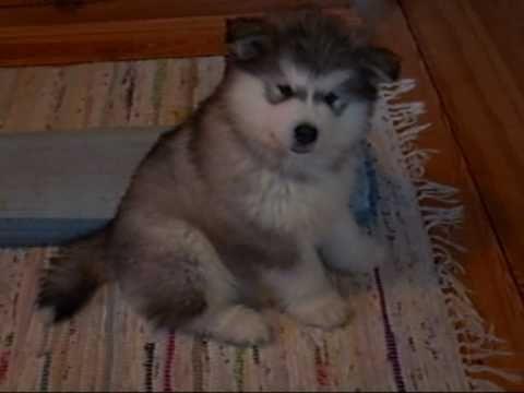 Wonderful Alaskan Malamute Chubby Adorable Dog - 779b7a5e5f24fbe67ad27815a47749a3  You Should Have_764362  .jpg