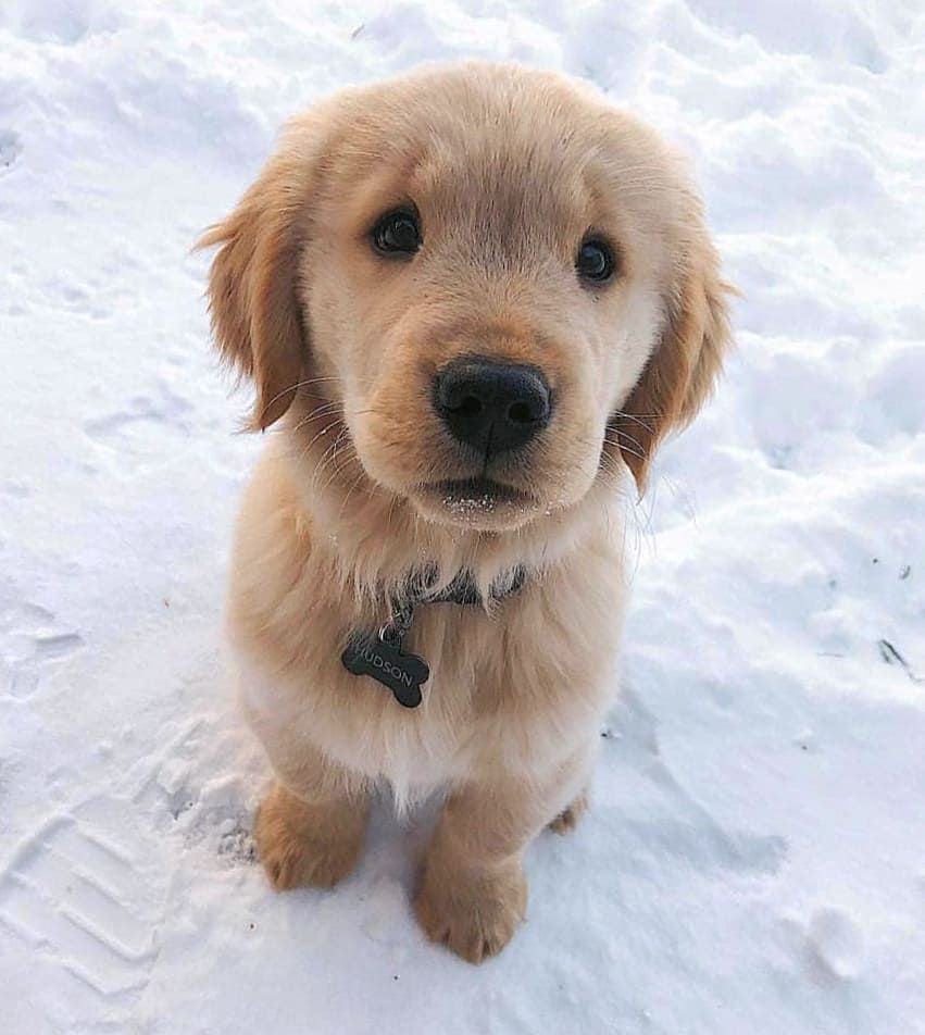 Goldenretriever Dogs Cute Winter Snow Puppy Dog Eyes Best