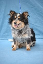 Swiffer Ci2984 Is An Adoptable Papillon Dog In Canon City Co
