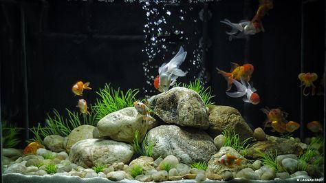 Goldfish Aquarium Design Google Search In 2020 Goldfish Aquarium Goldfish Tank Aquarium