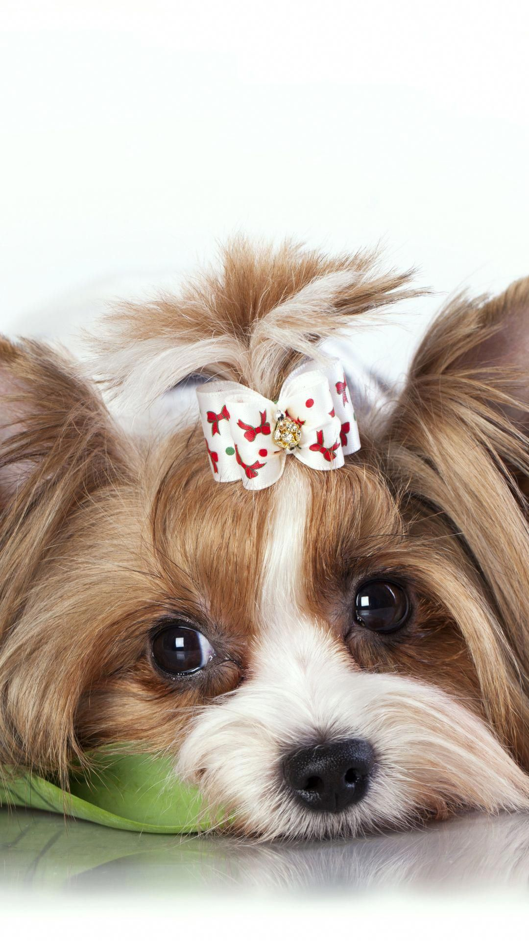 Everything I Admire About The Affectionate Yorkie Puppies Yorkshireterriersofinstagrams Yorkshireterr Animal Wallpaper Cute Puppy Wallpaper Yorkshire Terrier