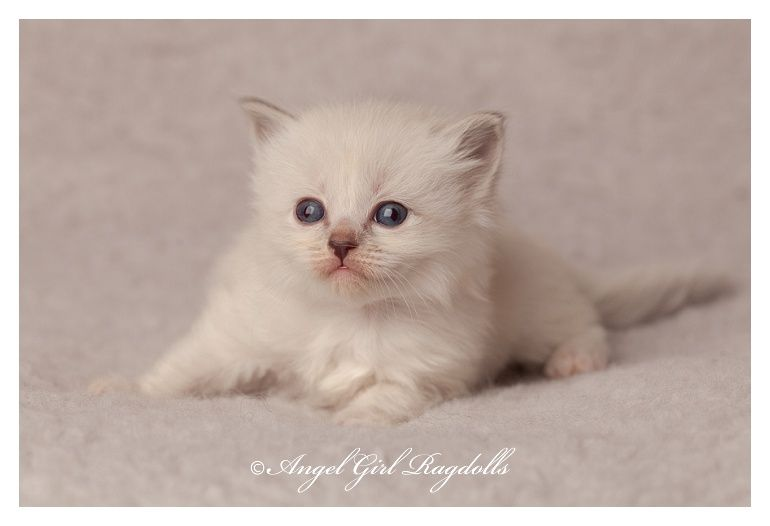 Ragdoll Cats For Sale With Images Ragdoll Kitten Baby Kittens
