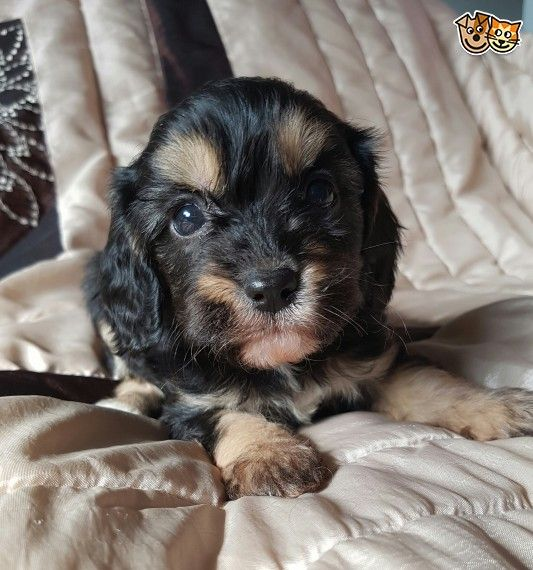 Beautiful Cav X Pups Ready Now Dachshund Puppies Puppies