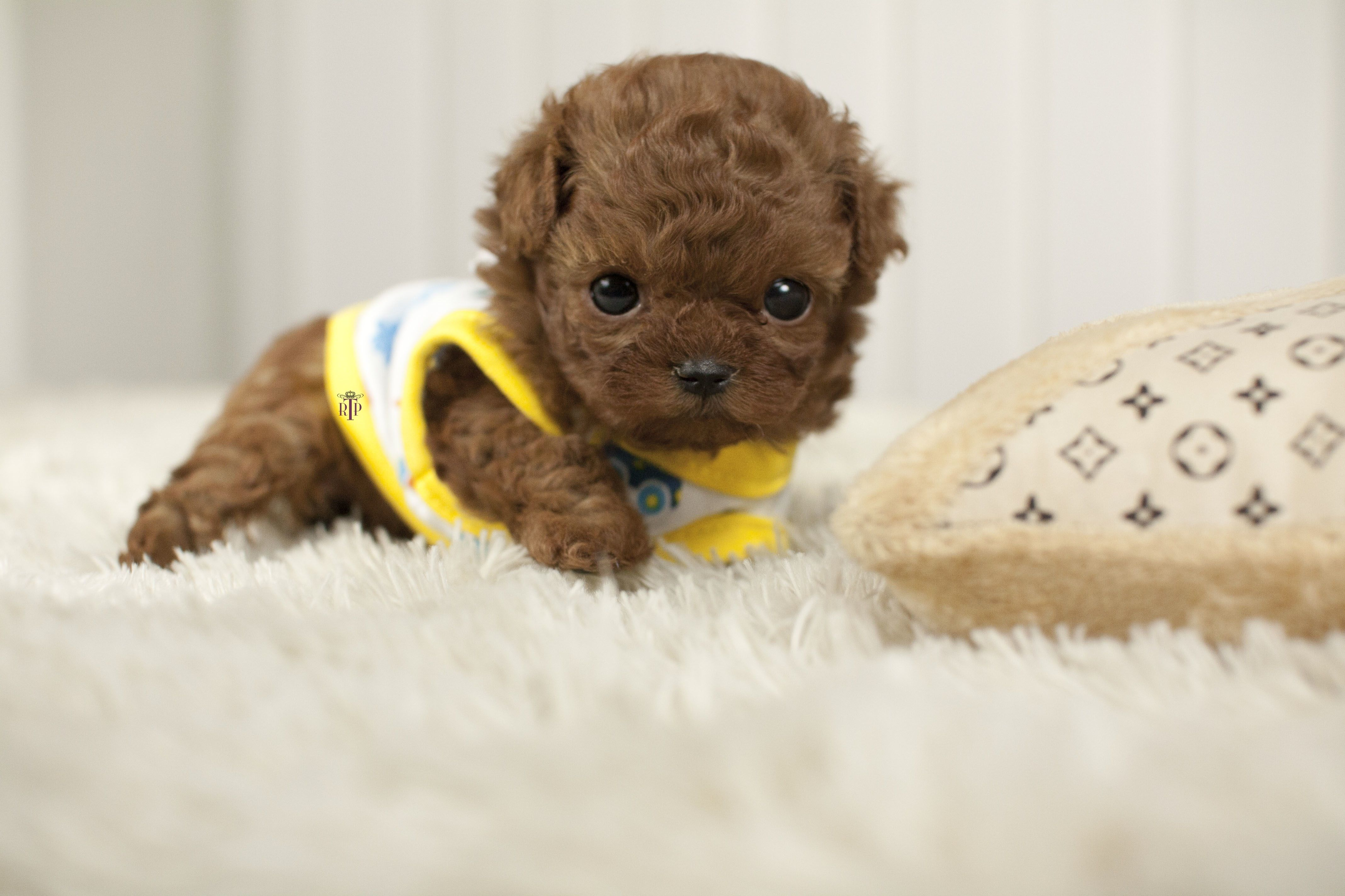Pin by Kine Brembry on Teacup puppies
