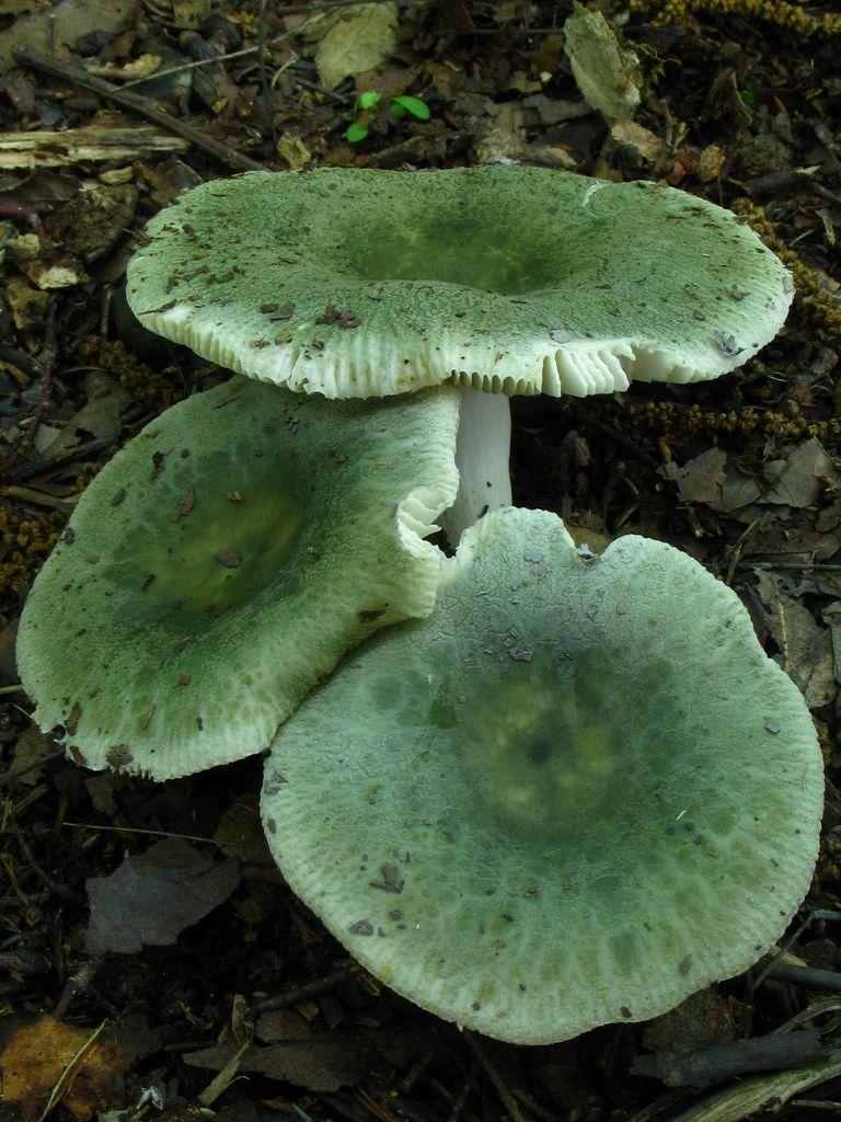 russula subgraminicolor, fricks cave, southeastern cave conservancy preserve, walker county, georgia 2