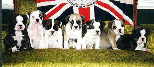 Original English Bulldogges By Lolly Wilkinson Victoria B C