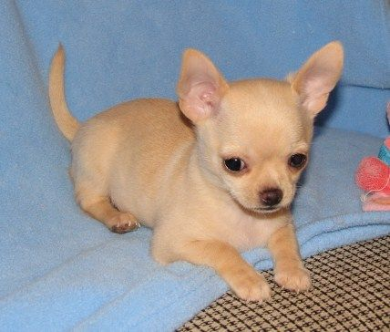 Smiley X Corey Fawn Hidden Merle Smoothcoat Chihuahua Puppy