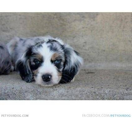 I Will Have This Puppy One Day Life Mission Cotralian Puppy