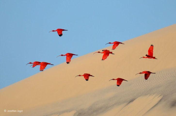 Uno stormo di ibis rossi in volo sopra le dune dell'isola brasiliana di Lençóis