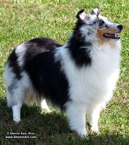 AKC Westbury Dog Show Photos! « Shinrin Art Blog