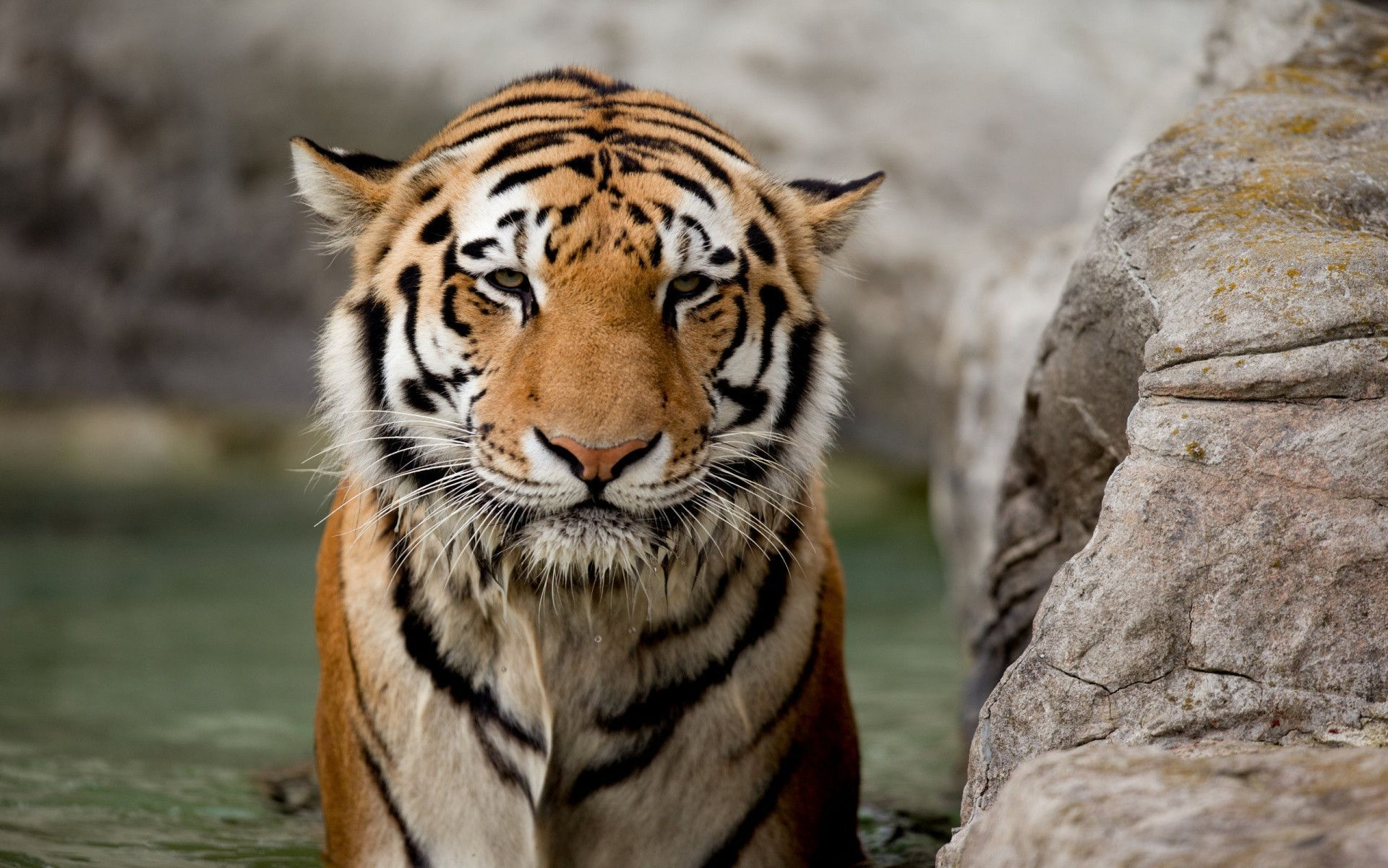 Hd Wallpaper Of Angry Tiger Tiger Day Tigers Pinterest Tiger