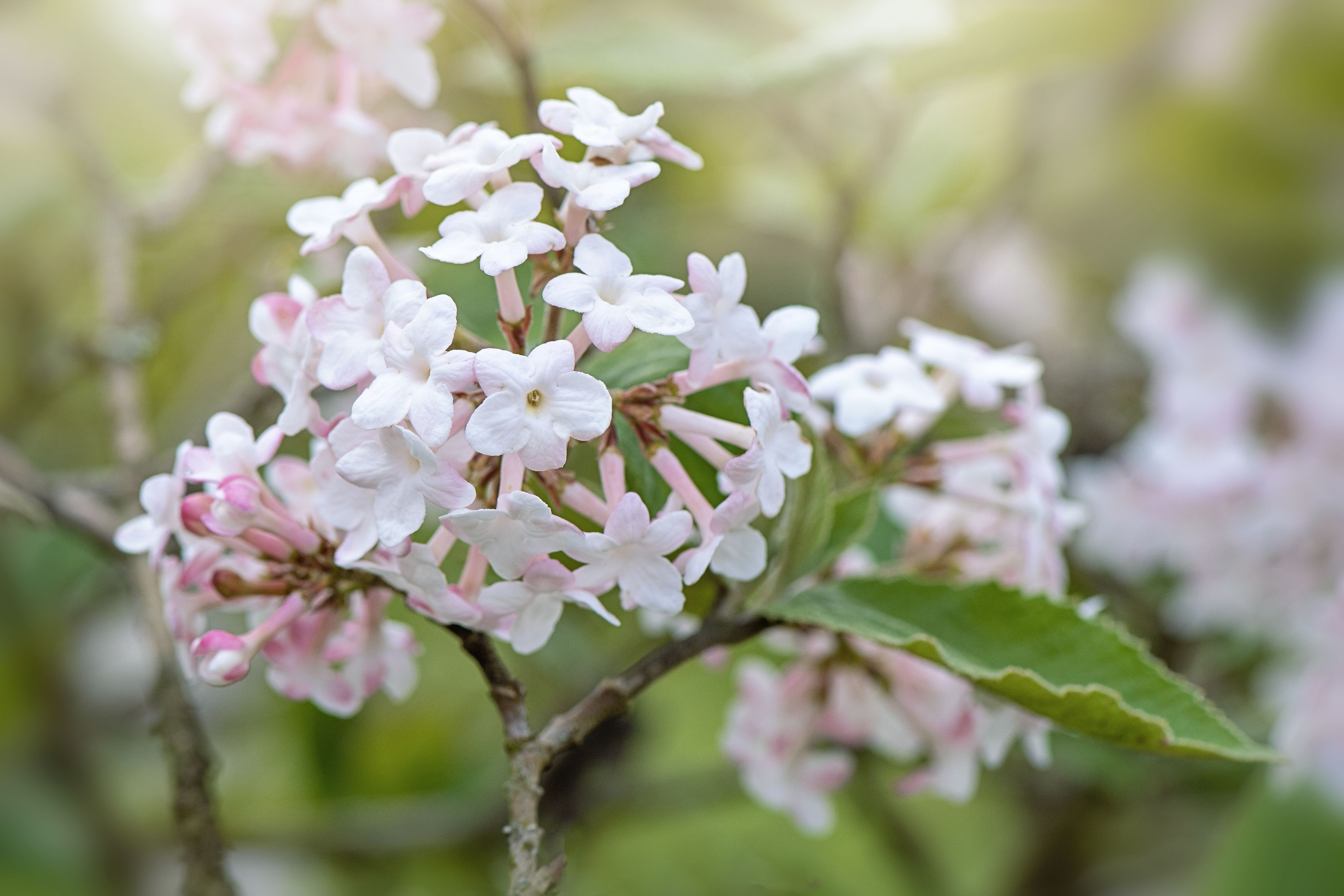 Try One Of These Viburnum Shrubs If You Like White Flowers Shrubs Viburnum White Flowering Plants