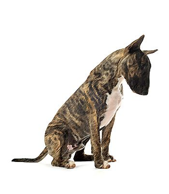 Although the Miniature Bull Terrier is small, it is not a little lap # dog. Click here