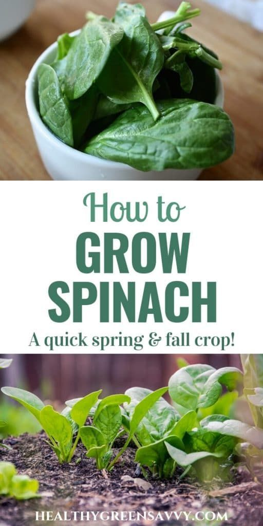 How to Grow Spinach (& Why You'd Want To is part of Growing spinach - How to Grow Spinach Spinach is an easy, quick, and nutritious crop for your garden! FInd out which varieties to choose & growing instructions