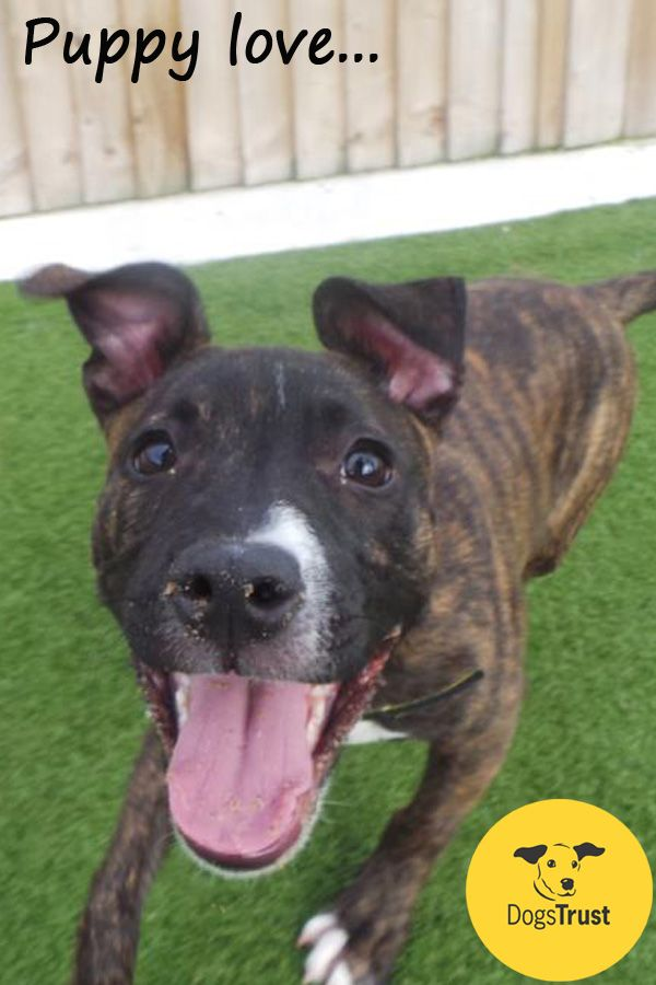 Kiara At Dogs Trust Manchester Is An Adorable Staffordshire Bull Terrier Cross Who Has Already Found Her Forever Home We Have Lots Of Dogs Dogs Trust Rehoming