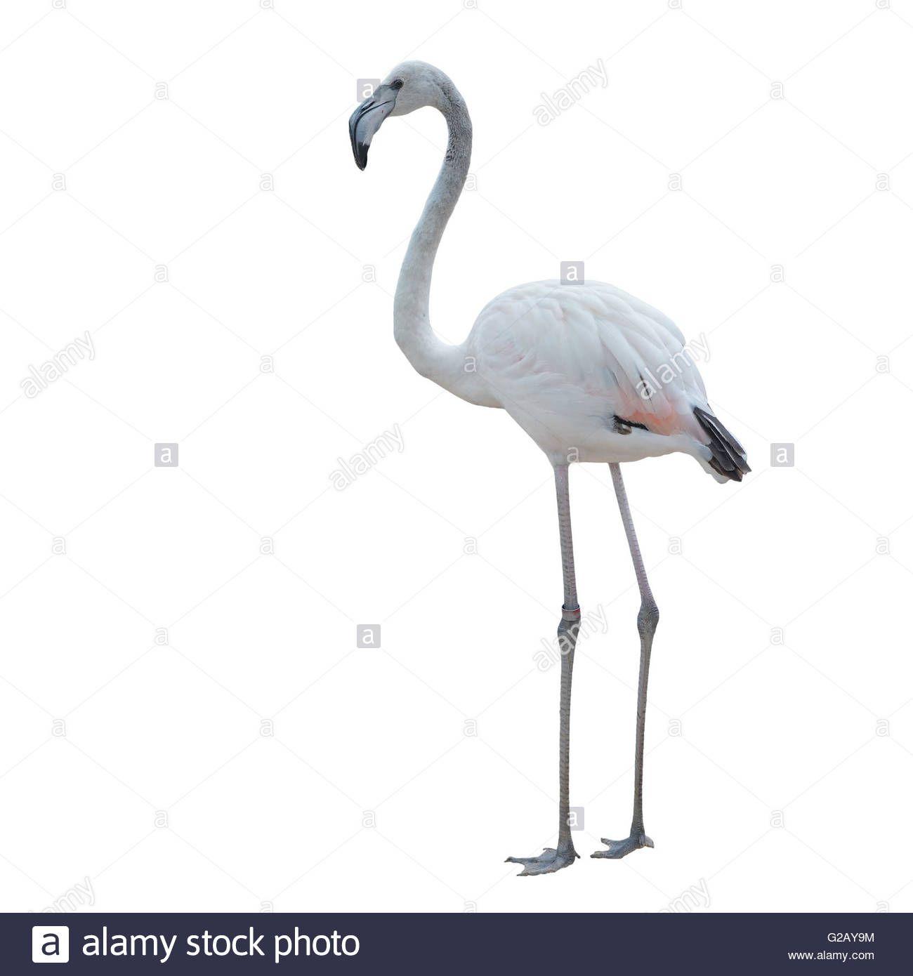 Flamingo White Background Flamingo Pink Flamingos