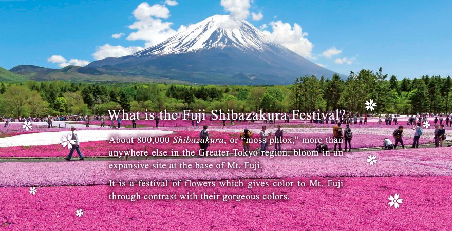 """What is the Fuji Shibazakura Festival? About 800,000 Shibazakura, or """"moss phlox,"""" more than anywhere else in the Greater Tokyo region, bloom in an expansive site at the base of Mt. Fuji. It is a festival of flowers which gives color to Mt. Fuji through contrast with their gorgeous colors."""