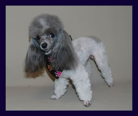 Teacup Poodle Breeders Tiny Toy Poodle Breeder Toronto Ontario