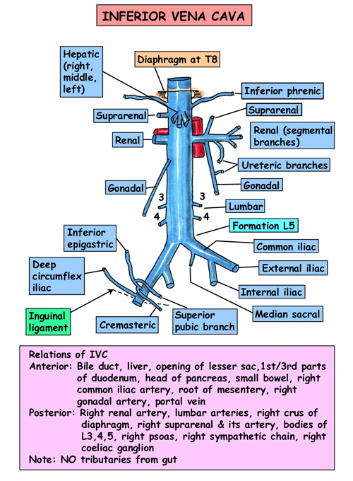 abdominal branches of the inferior vena cava. | cardiovascular, Human Body