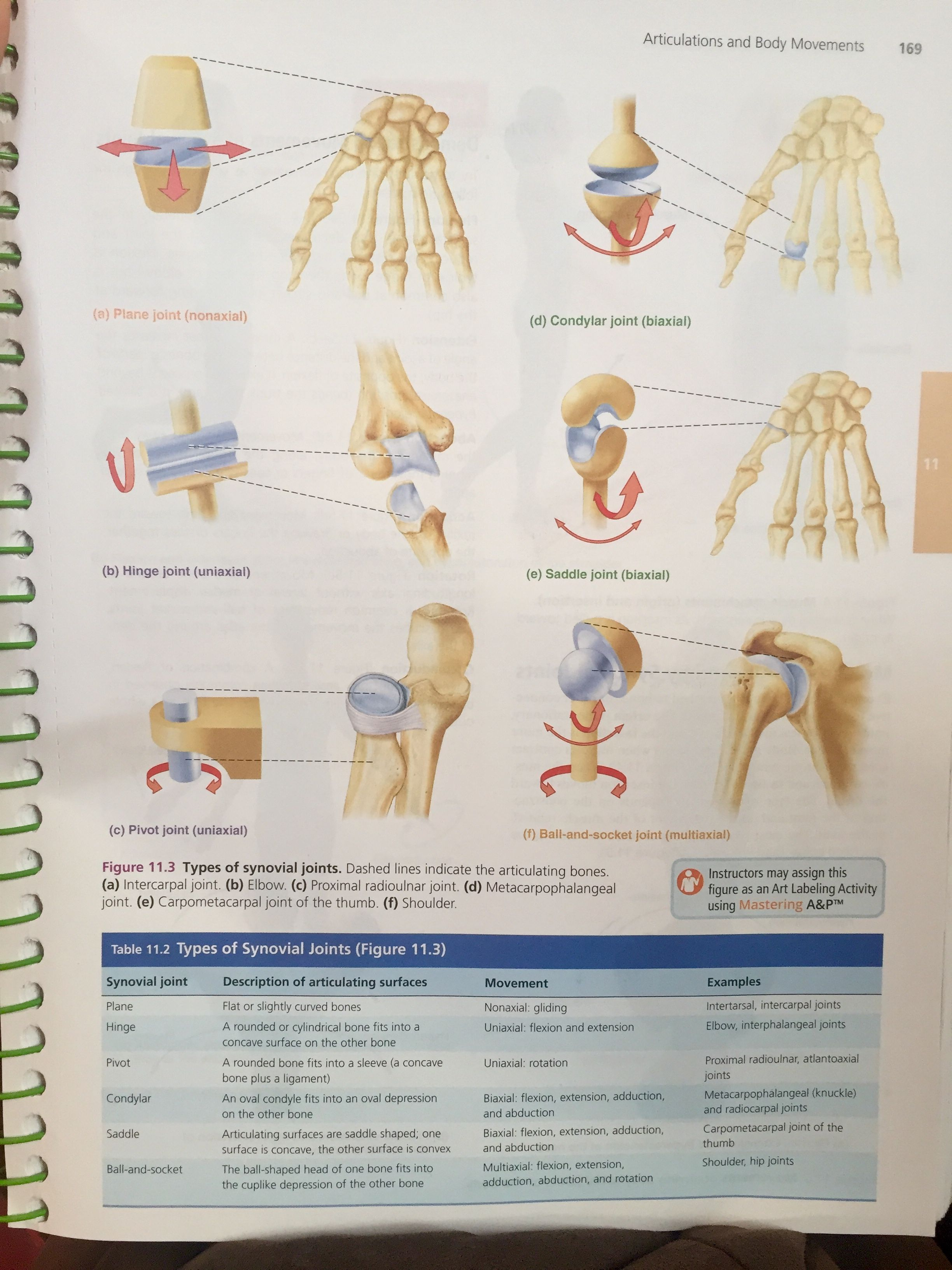 Types Of Synovial Joints From Human A Amp P Lab Manual